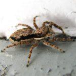 Păianjeni